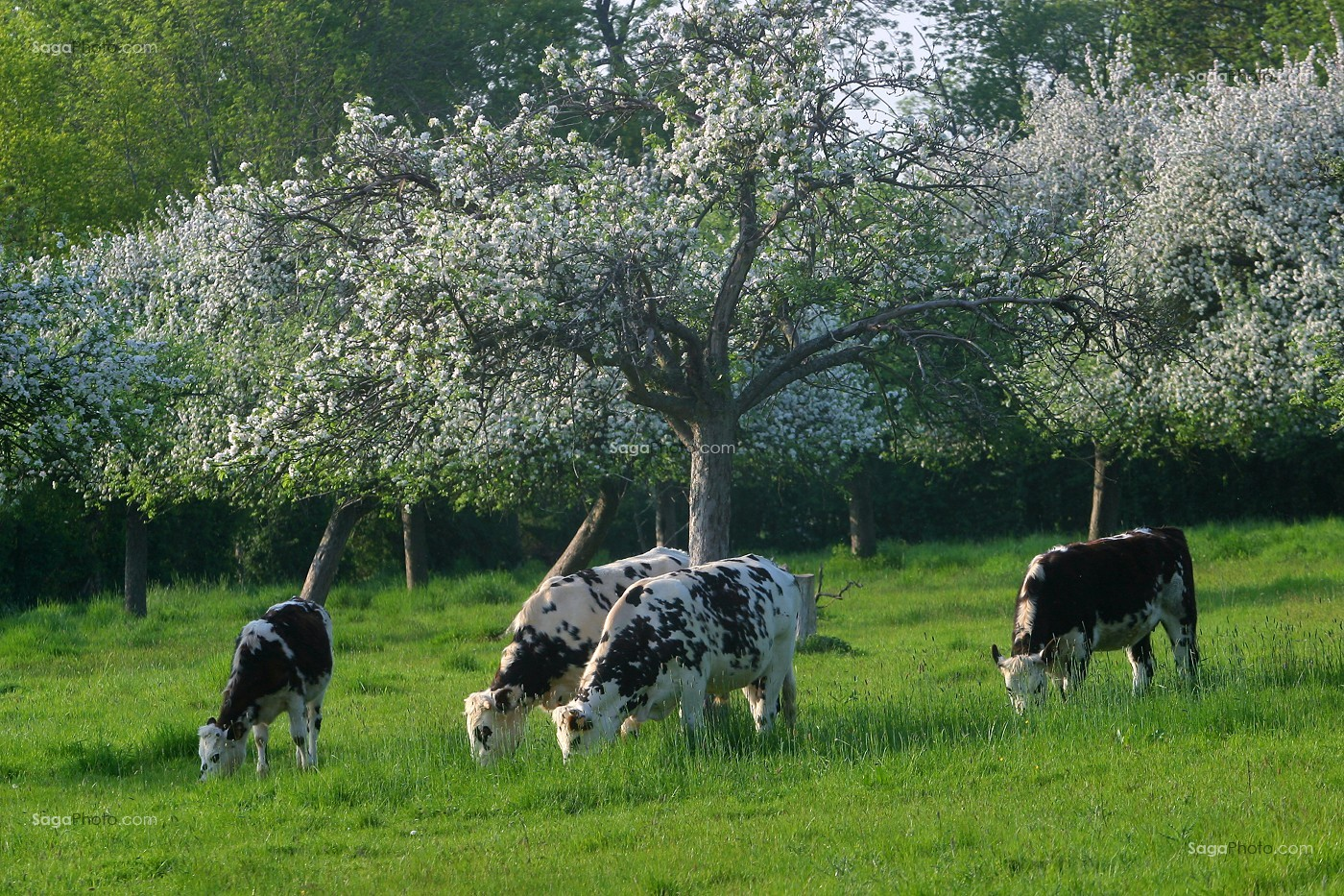 photo de vache de race normande sous un pommier en fleurs. Black Bedroom Furniture Sets. Home Design Ideas
