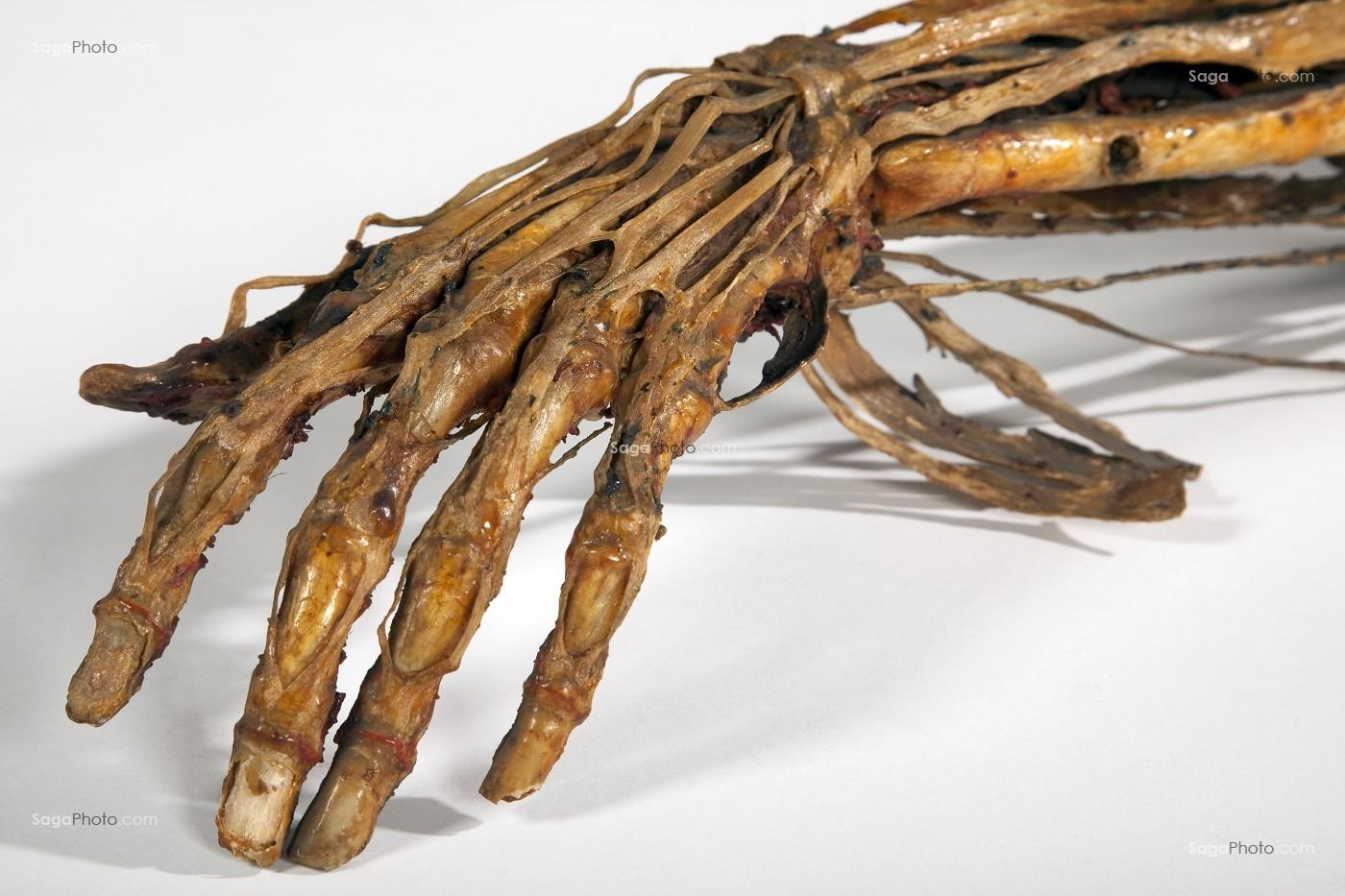 photo de main humaine ecorche d honore fragonard fin