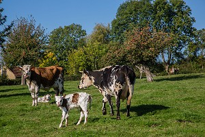 VACHES NORMANDES, (61) ORNE, BASSE NORMANDIE, FRANCE