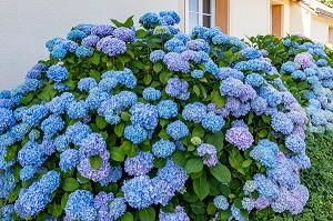 HORTENSIAS DE COULEUR BLEUE, CHATILLON-EN-DUNOIS (28), FRANCE