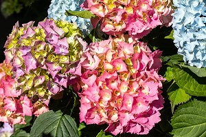 HORTENSIAS DE COULEUR ROSE, CHATILLON-EN-DUNOIS (28), FRANCE