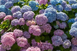 HORTENSIAS DE COULEUR ROSE ET BLEUE, CHATILLON-EN-DUNOIS (28), FRANCE