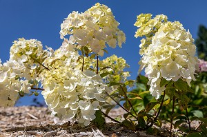 HORTENSIAS DE COULEUR BLANCHE, CHATILLON-EN-DUNOIS (28), FRANCE